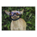 Chihuahua wearing goggles cards