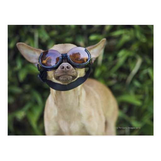 Chihuahua wearing goggles post cards
