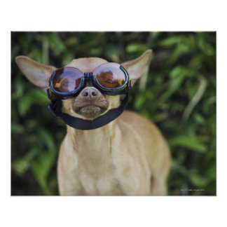 Chihuahua wearing goggles poster