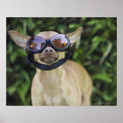 Chihuahua wearing goggles print
