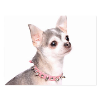 chihuahua with pink studded collar postcard