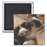 Chihuahua y barro amasado que duermen, primer imán cuadrado