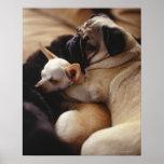 Chihuahua y barro amasado que duermen, primer impresiones