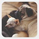 Chihuahua y barro amasado que duermen, primer pegatina cuadradas personalizada