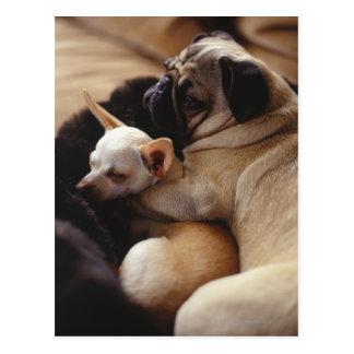 Chihuahua y barro amasado que duermen, primer tarjetas postales