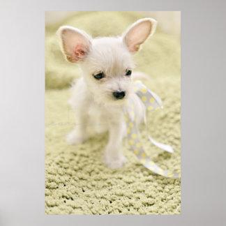 Chihuahua y perrito maltés póster