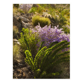 Chihuahuan desert plants in bloom postcards