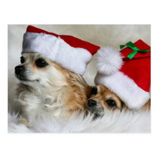 Chihuahuas de pelo largo postales