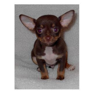 Chihuahua's Rule 1 Postcard