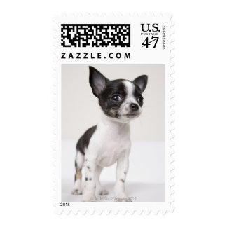 Chihuhua puppy standing on white fabric postage