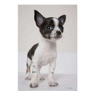 Chihuhua puppy standing on white fabric poster