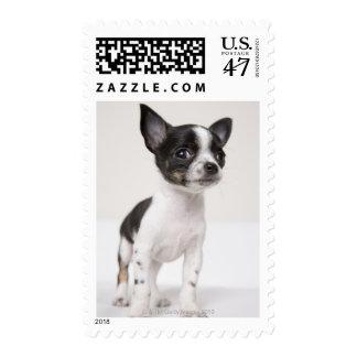 Chihuhua puppy standing on white fabric stamp