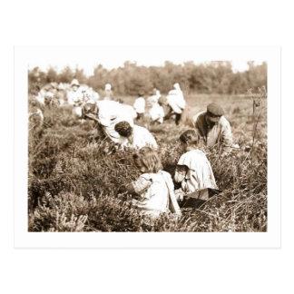 Children Picking Cranberries, NJ 1910 Vintage Postcard