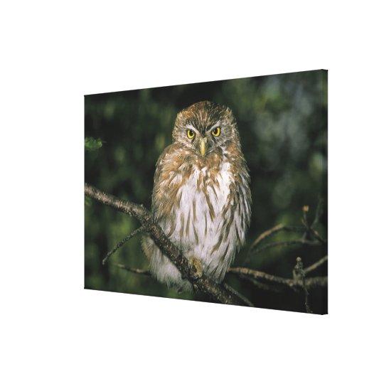 Chile, Aysen. Autral Pygmy Owl (Glaucidium Canvas Print