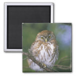 Chile, Aysen. Juvenile Autral Pygmy Owl 2 Inch Square Magnet