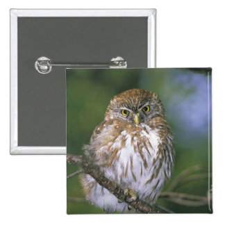 Chile, Aysen. Juvenile Autral Pygmy Owl 2 Inch Square Button