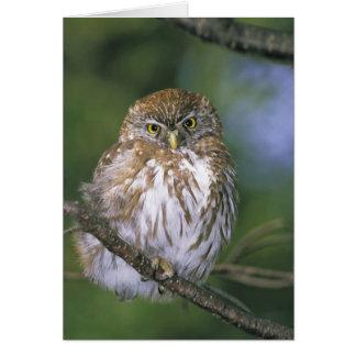 Chile, Aysen. Juvenile Autral Pygmy Owl Card