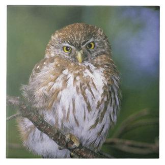 Chile, Aysen. Juvenile Autral Pygmy Owl Ceramic Tile