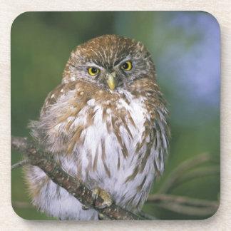Chile, Aysen. Juvenile Autral Pygmy Owl Coaster