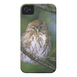 Chile, Aysen. Juvenile Autral Pygmy Owl iPhone 4 Cover
