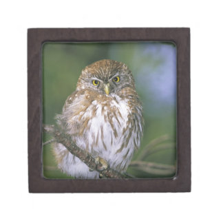 Chile, Aysen. Juvenile Autral Pygmy Owl Jewelry Box