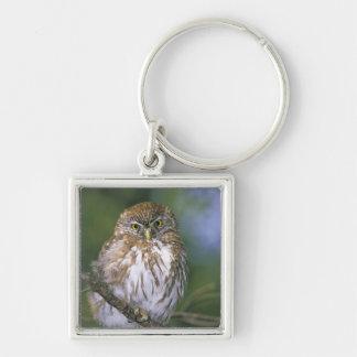 Chile, Aysen. Juvenile Autral Pygmy Owl Keychain