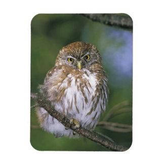 Chile, Aysen. Juvenile Autral Pygmy Owl Magnet