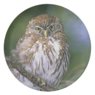 Chile, Aysen. Juvenile Autral Pygmy Owl Melamine Plate
