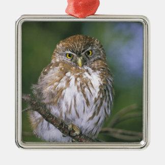 Chile, Aysen. Juvenile Autral Pygmy Owl Metal Ornament