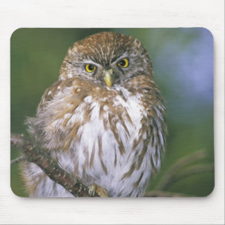 Chile, Aysen. Juvenile Autral Pygmy Owl Mouse Pad