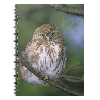 Chile, Aysen. Juvenile Autral Pygmy Owl Notebook