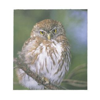 Chile, Aysen. Juvenile Autral Pygmy Owl Notepad