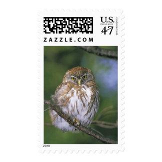 Chile, Aysen. Juvenile Autral Pygmy Owl Postage