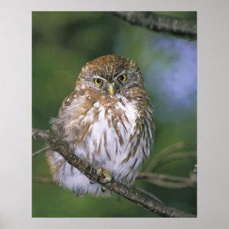 Chile, Aysen. Juvenile Autral Pygmy Owl Poster