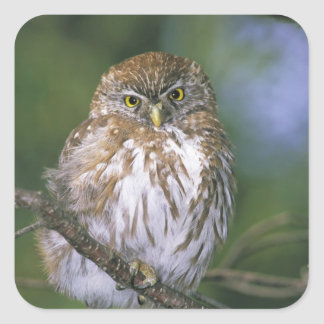 Chile, Aysen. Juvenile Autral Pygmy Owl Square Sticker