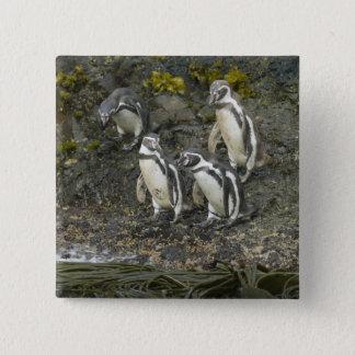 Chile, Chiloe Island, Humboldt Penguins, Button