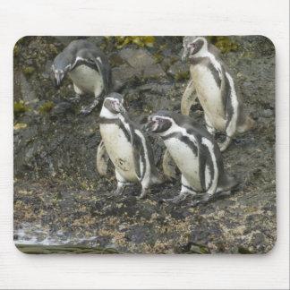 Chile, Chiloe Island, Humboldt Penguins, Mouse Pad