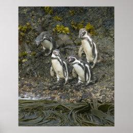 Chile, Chiloe Island, Humboldt Penguins, Poster