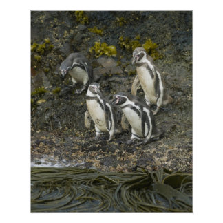 Chile, Chiloe Island, Humboldt Penguins, Poster
