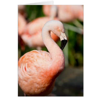 Chilean Flamingo Card