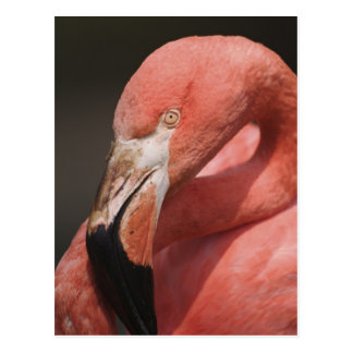 Chilean Flamingo, Phoenicopterus chilensis Postcard
