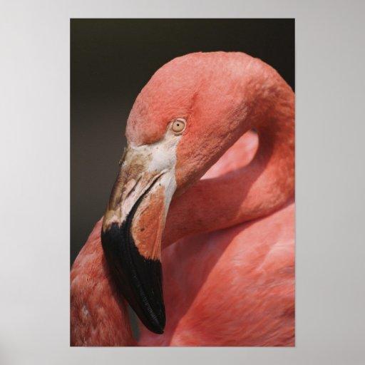 Chilean Flamingo, Phoenicopterus chilensis Poster