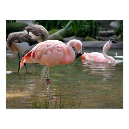 Chilean Flamingo Postcard