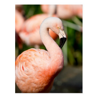 Chilean Flamingo Postcard