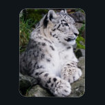 "Chilled Out Snow Leopard Magnet<br><div class=""desc"">Snow leopard &quot;chillin out&quot; on rocks,  portrait photograph.</div>"
