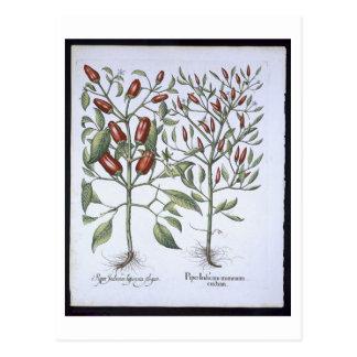 Chilli Pepper plants, from the 'Hortus Eystettensi Postcard
