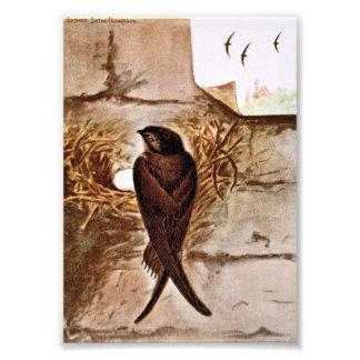 Chimney Swift Photograph