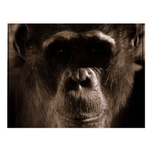 Chimp Postcard