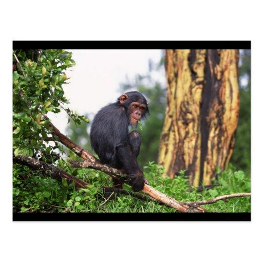 Chimp up a Tree Postcard