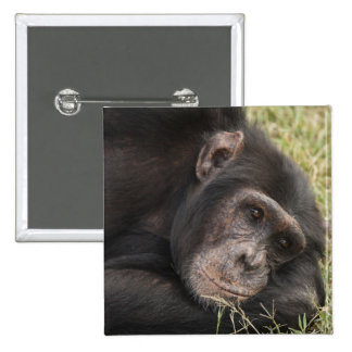 Chimpancé común que plantea la reclinación pin cuadrado